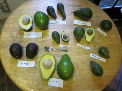 ?Florida avocado has been one of the major avocado types in the US. Detailed information about its origin, flavor, uses and so on has been discussed here.