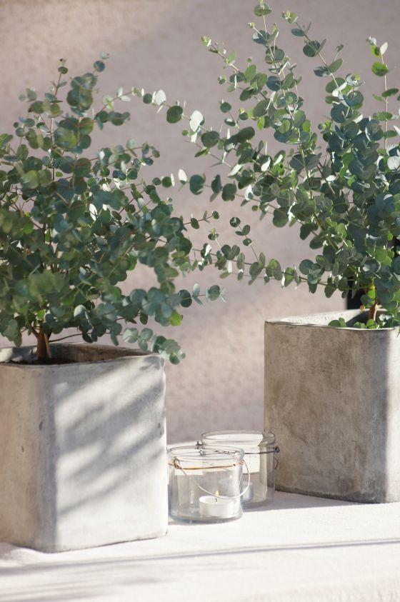 Eucaliptus cinerea en macetones