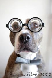 Ha!Pitt Bull, Bows Ties, Pitbull, Dogs Photos, Pit Bull, Baby Dogs, Pets Photography, Animal, Hilarious Photos