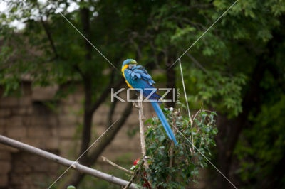 macaw grooming itself - Macaw getting rid of parasites using its beak.: Rid, Outdoors, Macaw Grooming, Beak, Animals Pictures, Photography
