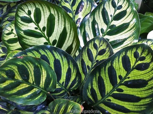 Maranta, The Prayer Plant, Loves Low Light Conditions.