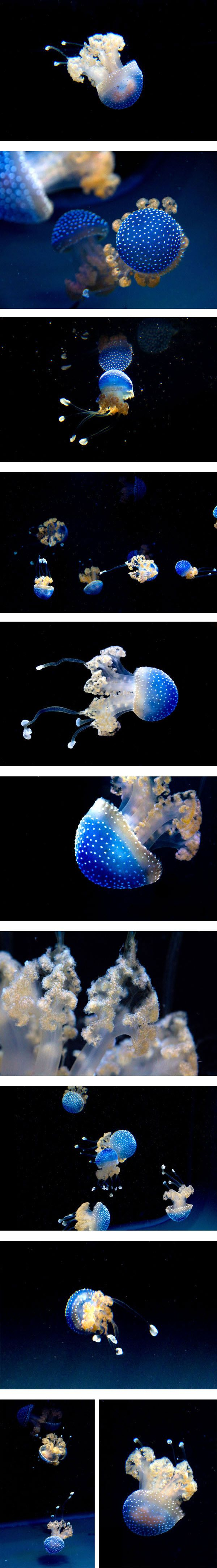 The Australian #jellyfish
