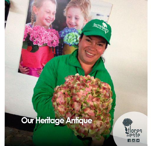 Our Heritage Antique  #hydrangeas #flowers #shine #pink #homedeco #springflowers
