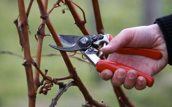 Я сам себе агроном! Обрезка винограда от А до Я.. Обсуждение на LiveInternet - Российский Сервис Онлайн-Дневников