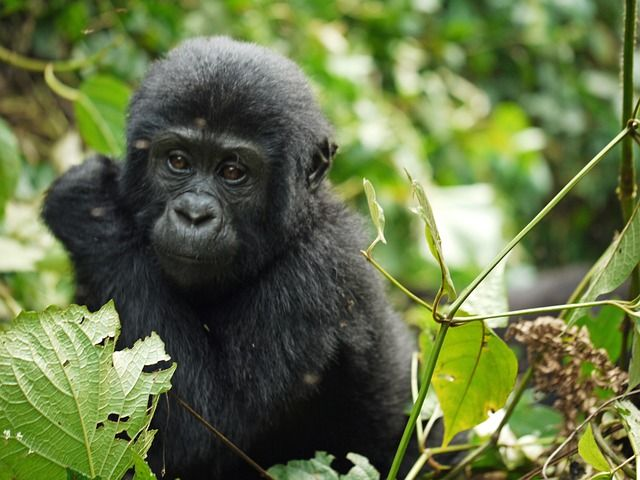 The Grauer's Gorilla may be the first great ape to go extinct! ||Conservation efforts needed to prevent this from happening. #gorilla #conservation #environment #adaptation #rangers