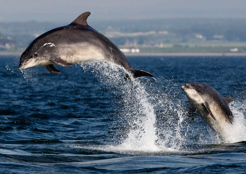 Moray Firth (Race to Up Helly Aa 2013)  Bottlenose dolphins on the Moray Firth  Credits: © Charlie Phillips Images,