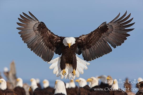 Bald eagle spreads its wings to land amid a large group of bald eagles.