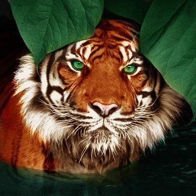 Green tiger eyes - photo#36