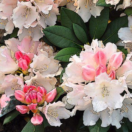 39 rhododendron bl ten 2 von 4 39 von dirk h wendt bei. Black Bedroom Furniture Sets. Home Design Ideas