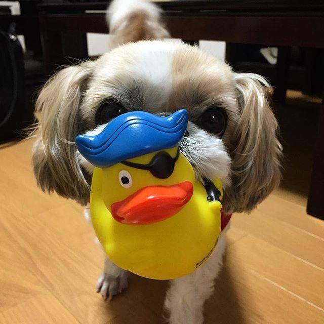 ただいま我が家🏡🐶💕 →→→#8offスタート . . . . とまごんにもお土産だよ#アヒルさん #ドイツ土産 #ぶす #ぶさかわ #とまと #シーズー #愛犬  #おもちゃ #かわいい #大連休  #tomato #shihtzu #dog #lovely  #mydog #toy #stuff #bebe #とまと日記 #🤗 #🐶 #🏡