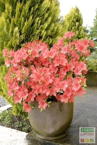 Le début du printemps est la période idéale pour la plantation d'une azalée japonaise en pot. Vous profiterez ainsi dès cette année d'une timide floraison mais elle sera bien plus généreuse les années suivantes.http://www.jardipartage.fr/plantation-azalee-japonaise-pot/