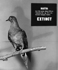 Key words: Martha the last Passenger Pigeon