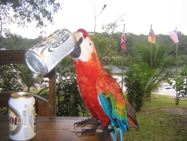 Amazon Rainforest Bird Wildlife Funny – Beer Drinking Macaw in Brazil!