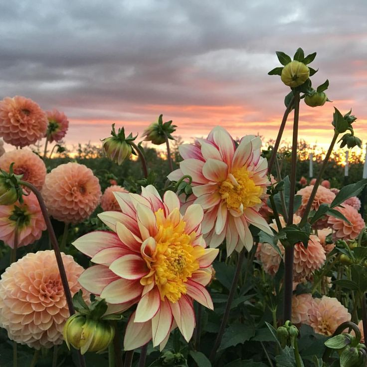 Dahlia 'Linda's Baby' and 'Polka' dancing together under the sunset tonight. #growfloret #floretbulbs