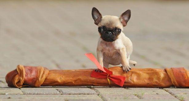 gracie the mini pug