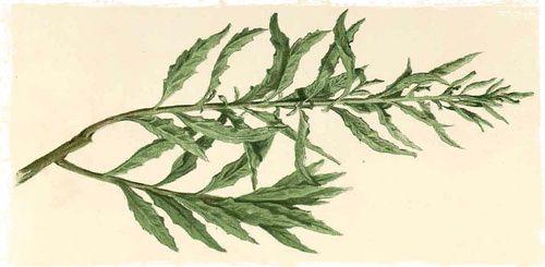 Epazote (Dysphania ambrosioides) Botanical Print