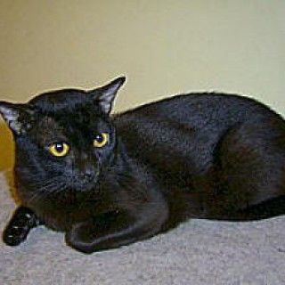 Burmese cats for sale in utah