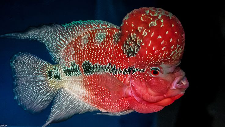 Usuario: Homer (Tailandia) - Flower horn fish. - Tomada en Chanthaburi el 18/02/2017