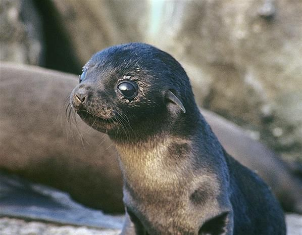 Baby fur seal (© Rex Features) They are found on the Galapagos Islands and are extremely shy.  So sweet