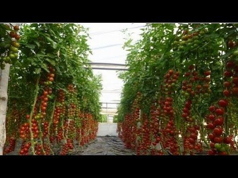 Thanks for watching Israel Agriculture Technology Subscribe to watch more: https://goo.gl/8Uzhjj High-tech agriculture - Tomates ISRAEL 12500 liters of milk ...