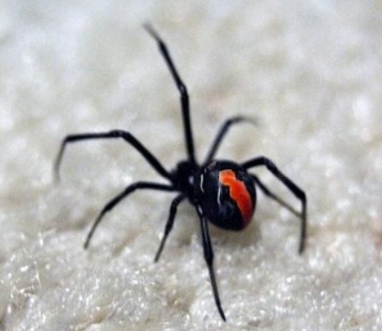 Deadly Redback spider