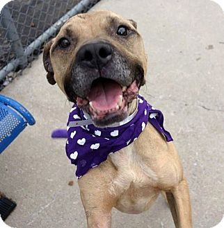 Boxer/American Pit Bull Terrier Mix Dog for adoption in New York, New York - Tony