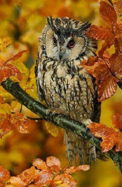 Long-eared Owl in autumn