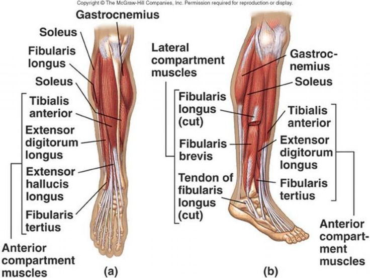 what are the names of the leg muscles