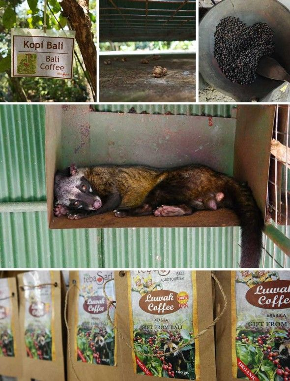what to know about civet coffee before you go civet coffee tasting in Bali.