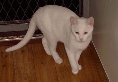 Photo Russian White Cat