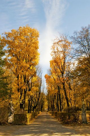 Arletta Cwalina on EyeEm. Park alley with yellow leaves on autumn trees, sunny fall weather in Poland, Europe. Deciduous trees bright foliage in vertical orientation, nobody.