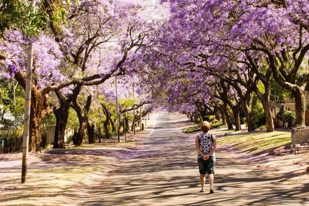 A friend admiring the Jakarandas in Pretoria, South Africa.