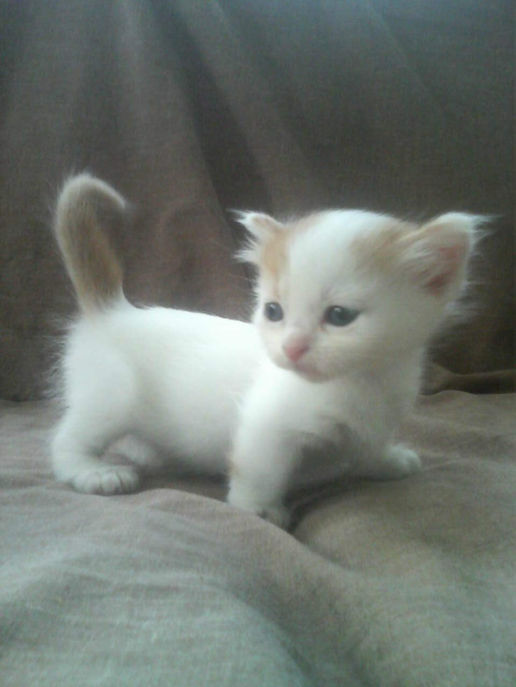 the munchkin is a short legged cat