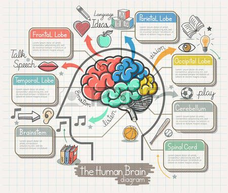 brain anatomy: The Human Brain Diagram Doodles Icons Set. Illustration.