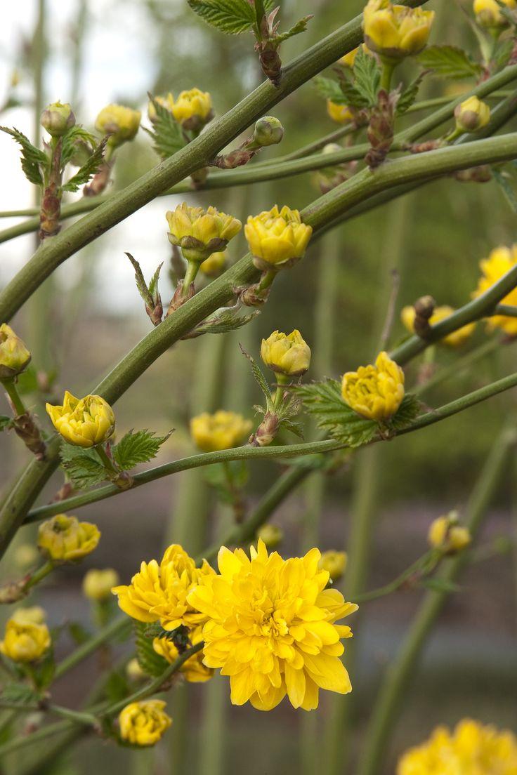 56 best images about shrubs on pinterest white flowers for Tall flowering shrubs
