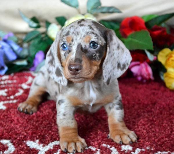 Mini Dachshund Puppies For Sale Black Tan Doxie Breeder Short Hair Pups Dachshund Puppies For Sale Dachshund Puppies Dapple Dachshund Puppy