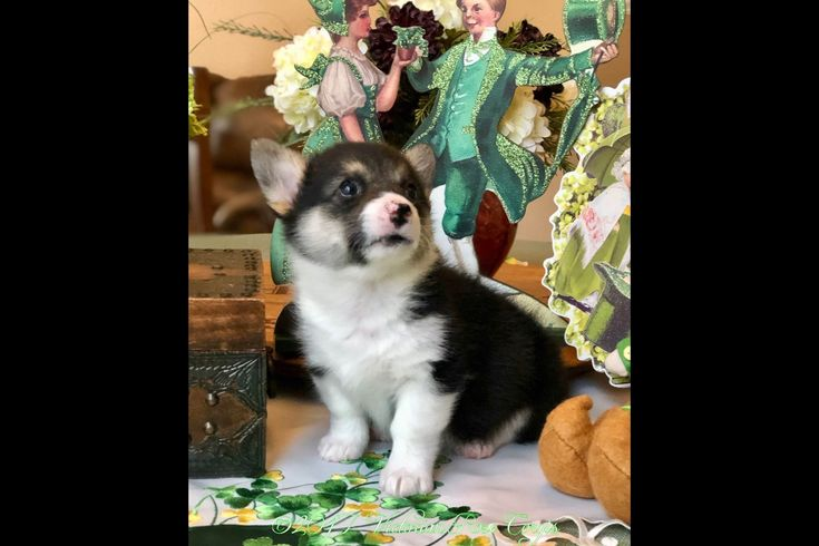 Victorian Rose Corgis Has Pembroke Welsh Corgi Puppies For Sale In