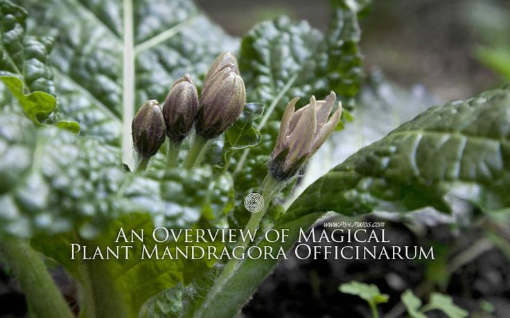 An Overview of Magical Plant Mandragora Officinarum - @psyminds17