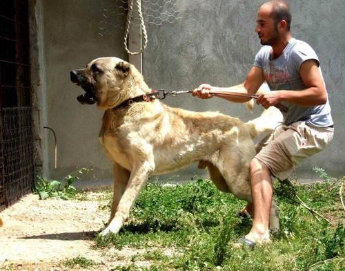 25+ Best Ideas about Kangal Dog on Pinterest | Anatolian