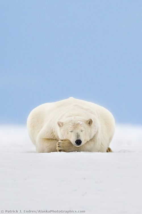 funnywildlife: Polar Bear Sleeping in Alaska's Arctic by Patrick J Endres. Chillin!!!