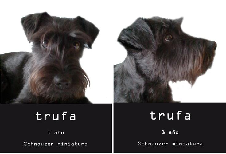 Ficha trufa todo para perros schnauzer miniatura negro - Todo para nuestras mascotas ...