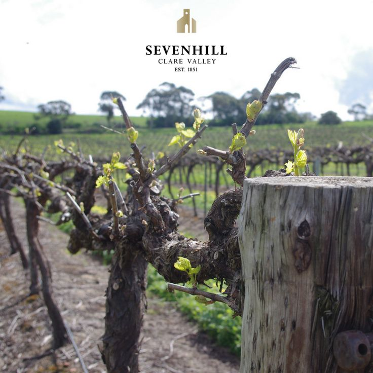 Fun fact: Sevenhill Cellars is the first winery established in South Australia's Clare Valley! It all began in 1851.