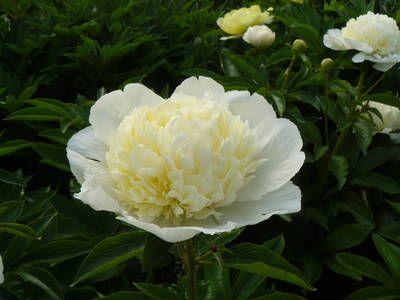 blumengarten andrea köttner: Pfingstrosen, Taglilien, Iris: Pfingstrose Laura Dessert, Paeonia lactiflora