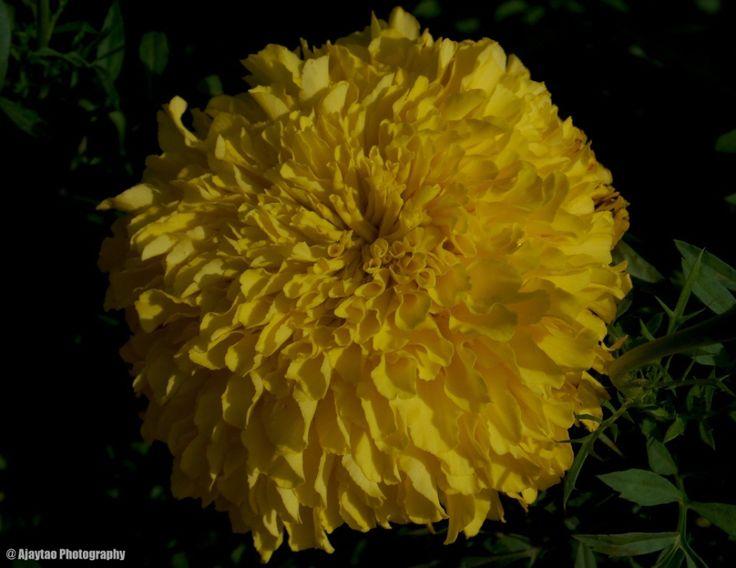 Yellow Marigold - Ajaytao