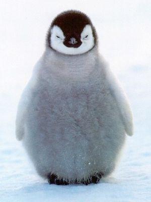 """Listen here you little..."" #penguin #animallovers #animals"