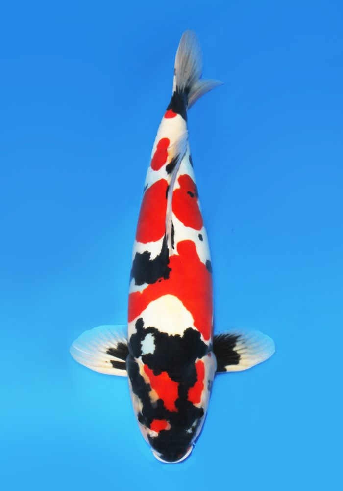 1270 best kio fish images on pinterest for Male koi fish