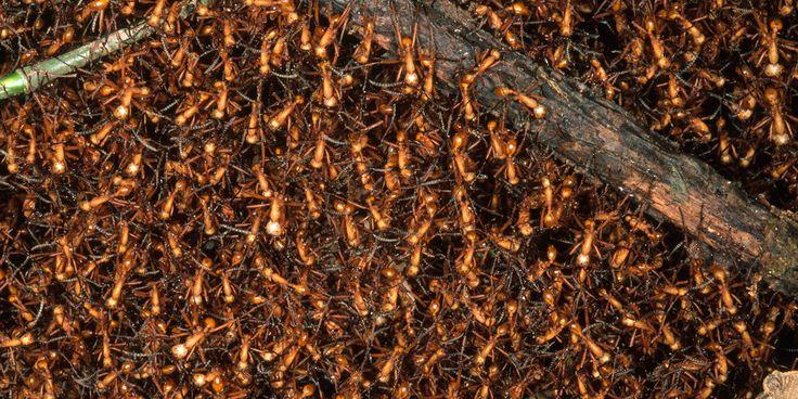 """As formigas da espécie dorylus wilverthi são também conhecidas como """"formiga motorista"""" ou """"formiga safari"""". Elas vivem em colônias com milhões de indivíduos. Quando o suplemento de comida começa a acabar, essas formigas não ficam apenas esperando e rezando. Elas se movem em colunas enormes aos milhões e comem qualquer coisa que passar pelo seu caminho. Insetos são geralmente o principal alvo, mas animais invertebrados maiores também são. Crédito da imagem: Gregory MD / Getty Images"""
