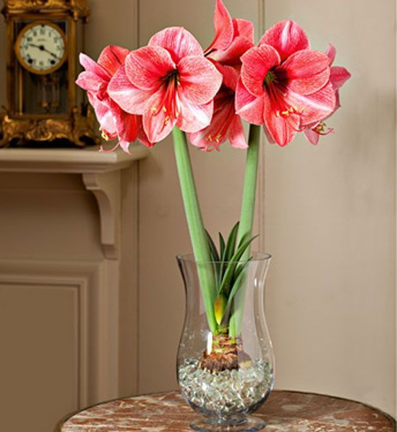 Learn More About Amaryllis Bulbs Grown In Water Amaryllis