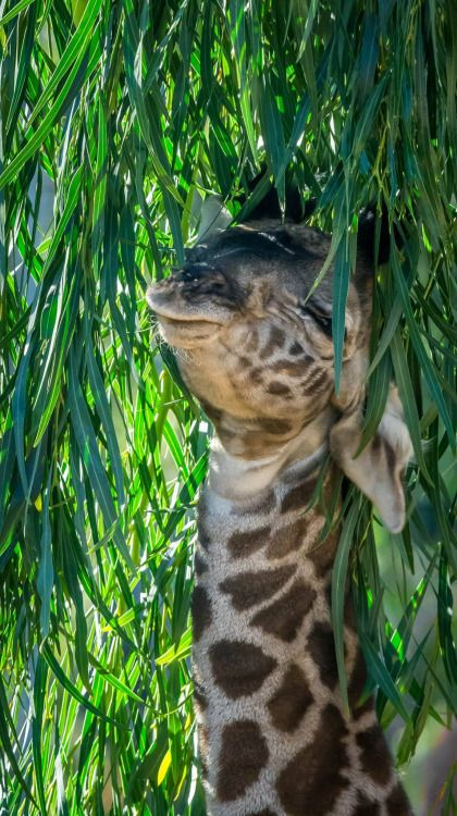 Baby giraffe loves leaves <3 The calf was born on December 13, 2015 at the San Diego Zoo. Photo by Craig Chaddock.