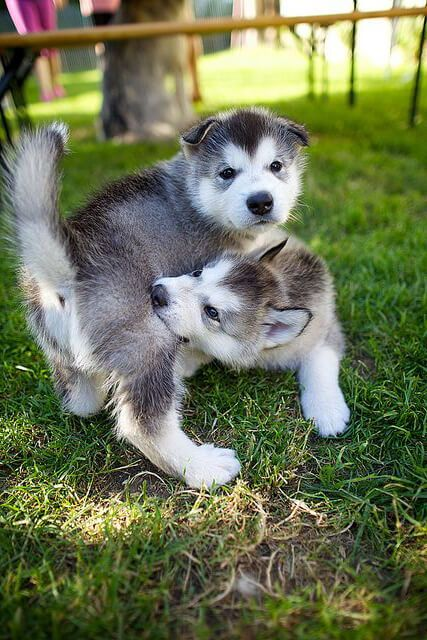 how to stop a malamute puppy from biting